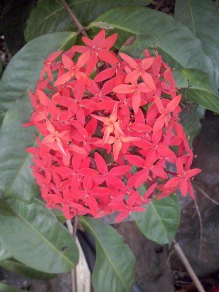 Ixora rouge , Origine  Inde et Océanie Floraison abondante Hauteur  2 / 3  mêtres Utilisation  en pied isolé ou en massif ou en haies